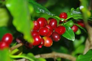Modne kaffebær